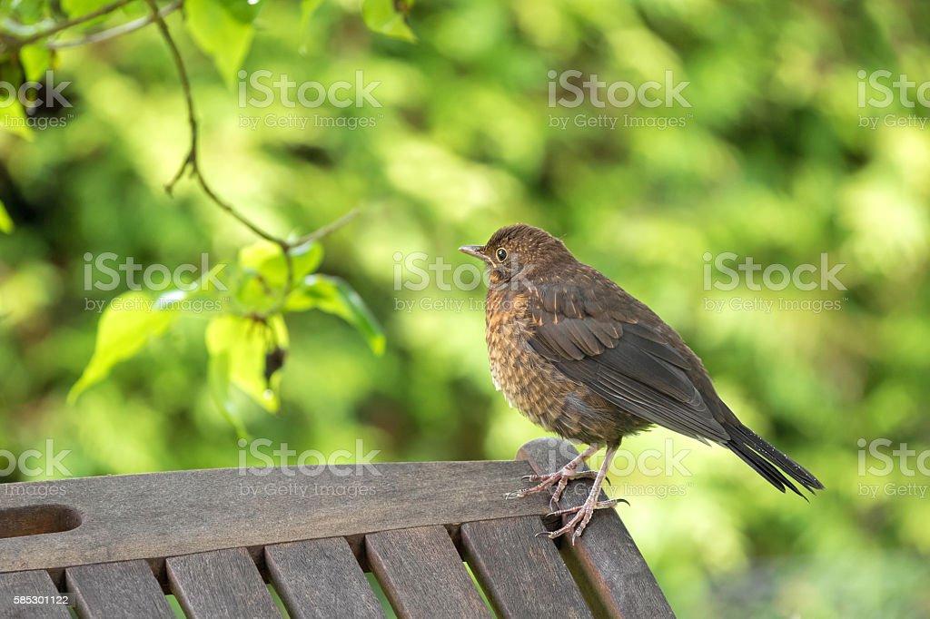 Cute little female Eurasian Blackbird, Juvenile Common Blackbird stock photo