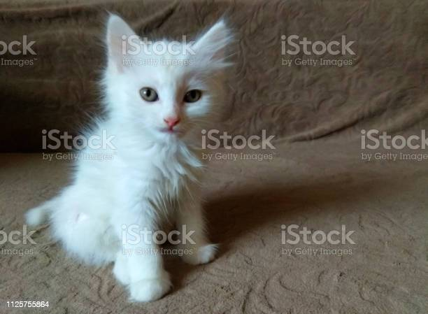 Cute little fluffy white kitten picture id1125755864?b=1&k=6&m=1125755864&s=612x612&h=asxpql4funwhnbq6iqbgh i02jx5gfmpos3jnmyu6xi=