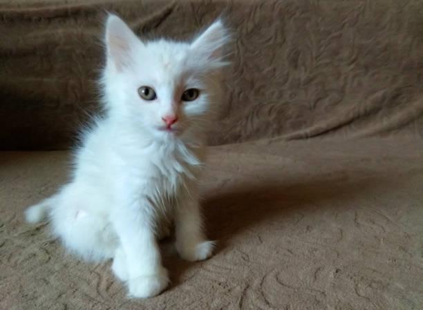 Cute little fluffy white kitten picture id1125755864?b=1&k=6&m=1125755864&s=612x612&w=0&h=sj0ky5wjtq0k3htftvkxqxadt038rvyhhd0mck4kzau=