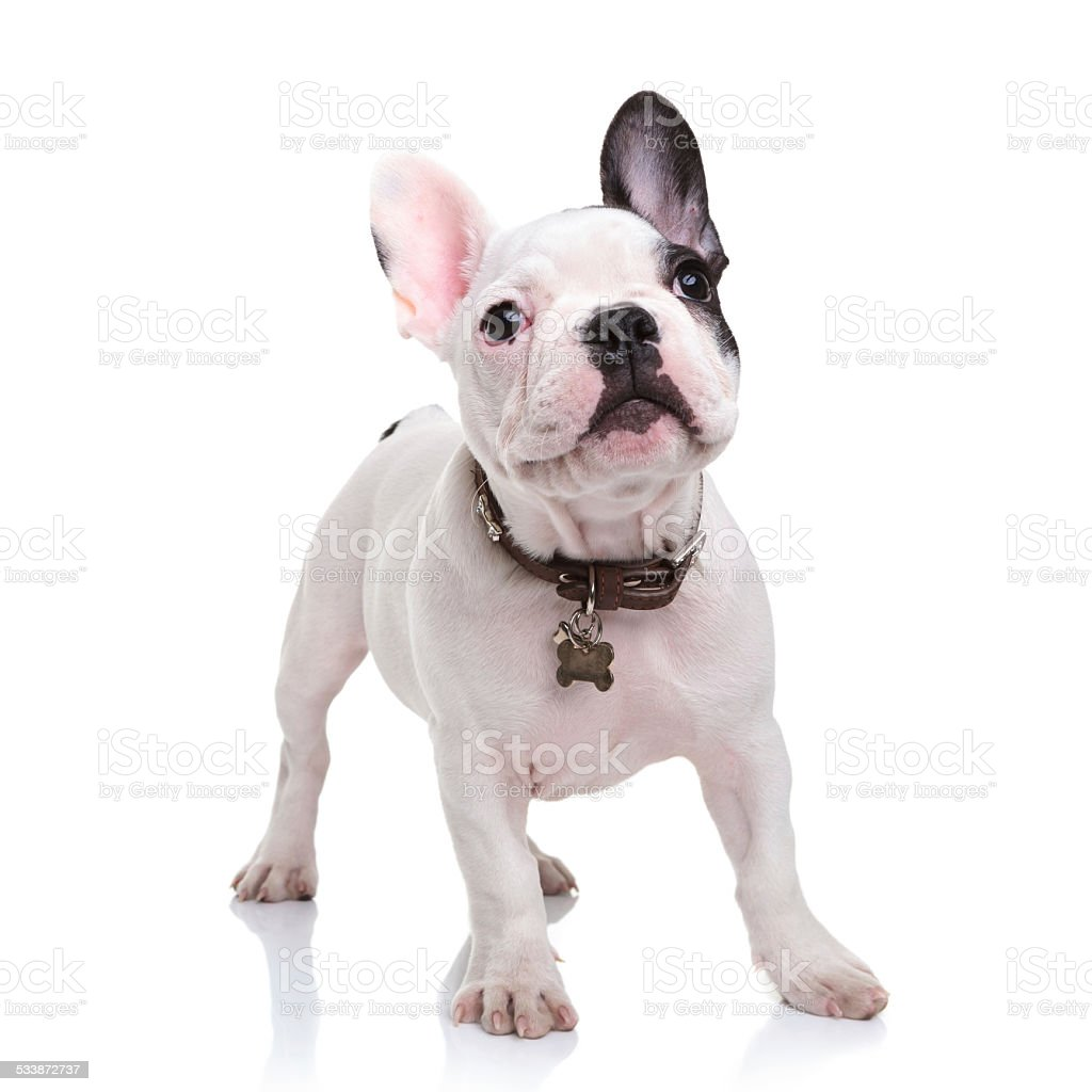 cute little french bulldog puppy standing  on white background stock photo