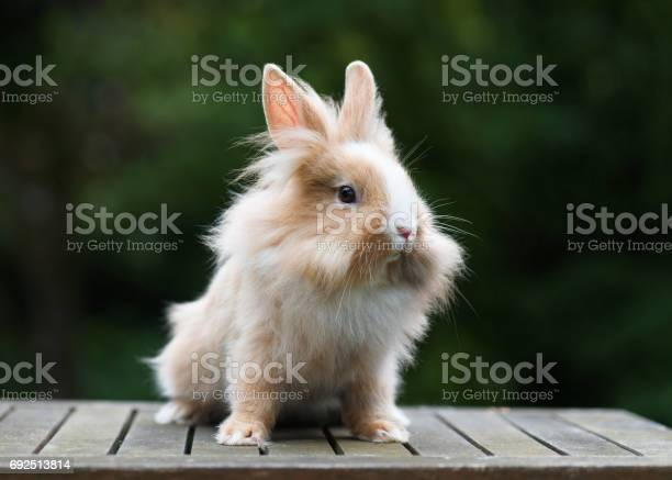 Cute little funny lionhead red rabbit in the gardren picture id692513814?b=1&k=6&m=692513814&s=612x612&h=5qfjdd5qm5zipkmecpvgb8dun sp2al9b vcv3mk7ug=