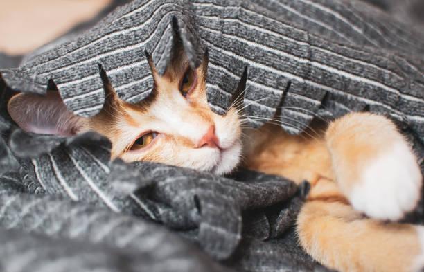 Cute little ginger kitten sleeping in gray blanket picture id1132274344?b=1&k=6&m=1132274344&s=612x612&w=0&h=zoiyg psfr3qyay0yy ggnmraltjqwmzarinjzy2x0m=