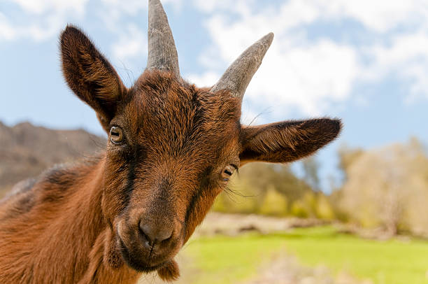 Cute little goat stock photo
