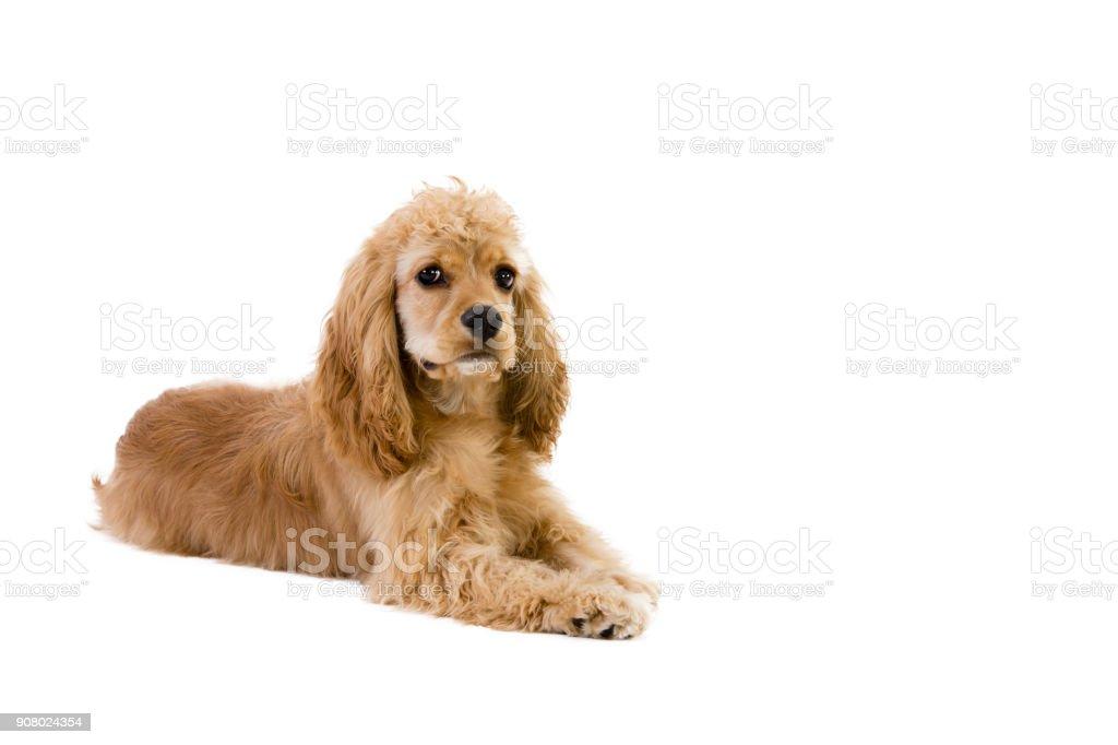 Cute little golden cocker spaniel puppy stock photo
