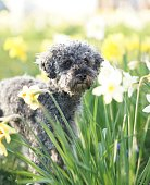 istock Cute little grey dwarf poodle sitting in yellow colored narcissus patch 1217616484