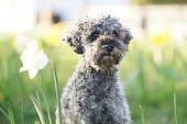 istock Cute little grey dwarf poodle sitting in yellow colored narcissus patch 1217616507