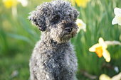 istock Cute little grey dwarf poodle sitting in yellow colored narcissus patch 1217616517