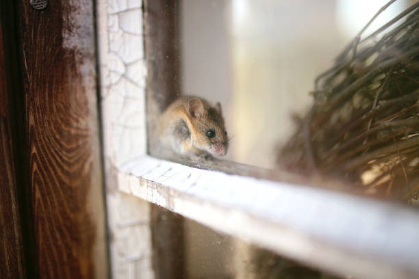 Cute Little Grey House Mouse Hiding in Window Sill stock photo