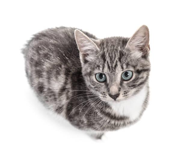 Cute little grey kitten picture id1026831204?b=1&k=6&m=1026831204&s=612x612&w=0&h=33pqymajaj kpcrtukms0gbkahwkatyw1wbloq42s8s=