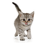 Cute little grey kitten with tongue hanging out walks on white background