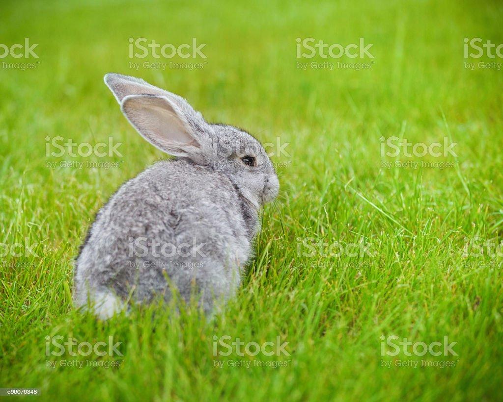 Cute little grey rabbit on green grass royalty-free stock photo