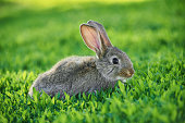 Cute little grey rabbit sits in green grass outdoor and his ears sticking up