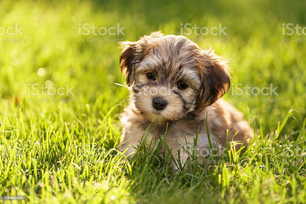Susse Kleine Havaneser Welpen Hund Sitzt In Der Gras Stockfoto Und Mehr Bilder Von Braun Istock