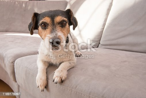 Little Jack Russell Terrier dog lies on a gray sofa. He is attentive and focused and looks into the camera