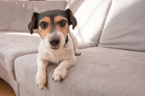 Süße Little Jack Russell Terrier Hund liegt auf einem grauen Sofa. Er ist aufmerksam und fokussiert und schaut in die Kamera – Foto