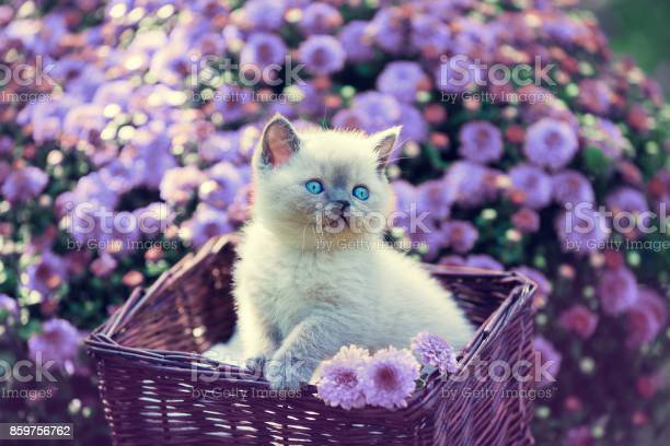 Cute little kitten in a basket in a garden near violet daisy flowers picture id859756762?b=1&k=6&m=859756762&s=612x612&h=apd4fw vlsqivbwlqwuttkdtapmnmdlkjepa7gb2hhm=