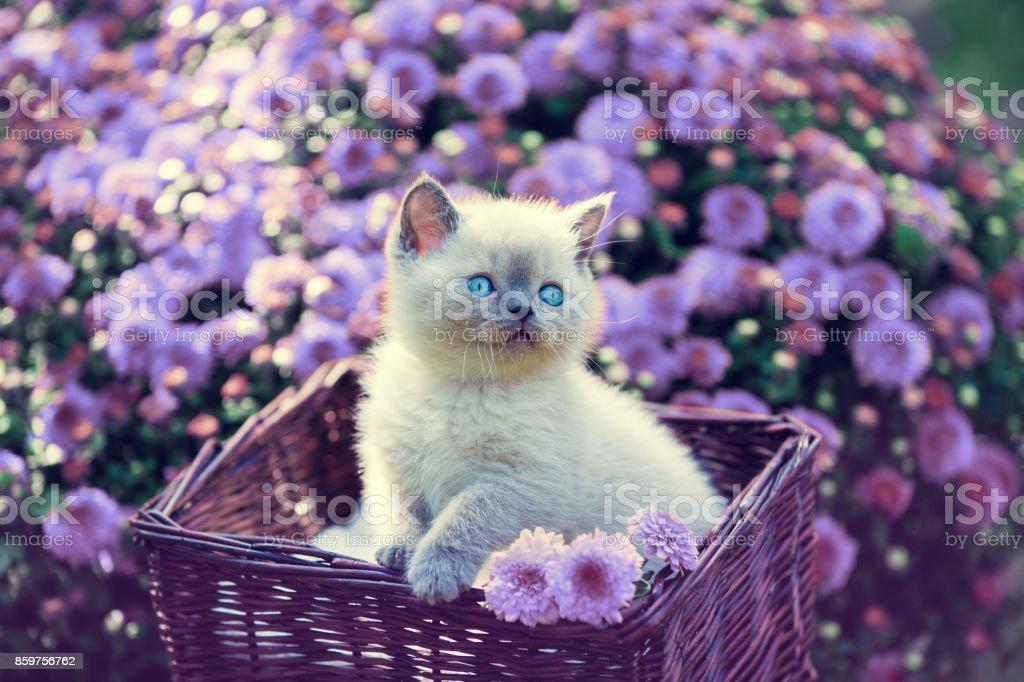 Cute little kitten in a basket in a garden near violet daisy flowers stock photo