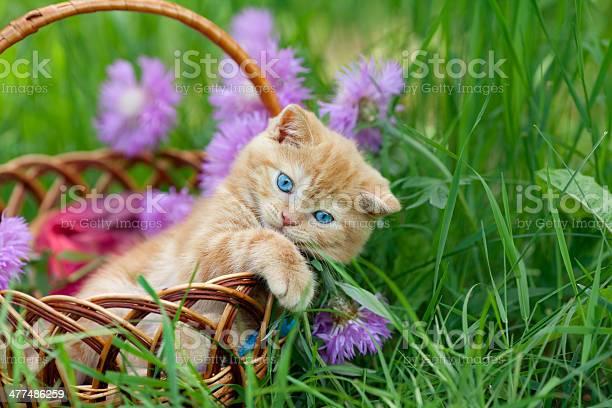 Cute little kitten in the basket picture id477486259?b=1&k=6&m=477486259&s=612x612&h=bj0cojzloc2rgh2tifyii9 xp4msw1ueqolmox8pgcm=