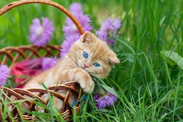 Cute little kitten in the basket picture id477486259?b=1&k=6&m=477486259&s=612x612&w=0&h=al  autg6nu0i7fmd0j m0mdzpdbtviw9e7st6pc2m8=