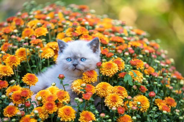 Cute little kitten in the garden in chrysanthemum flowers picture id1163281127?b=1&k=6&m=1163281127&s=612x612&w=0&h=4v75jmrqc8zqydqcpyijgx jo81jv8wshk6hc utoyu=