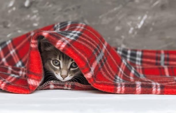 Cute little kitten looks out from under red warm plaid close up copy picture id1023330538?b=1&k=6&m=1023330538&s=612x612&w=0&h=sczcuam2jh6avgddxqijj7wta7rm1qxuihrqafgnrhe=