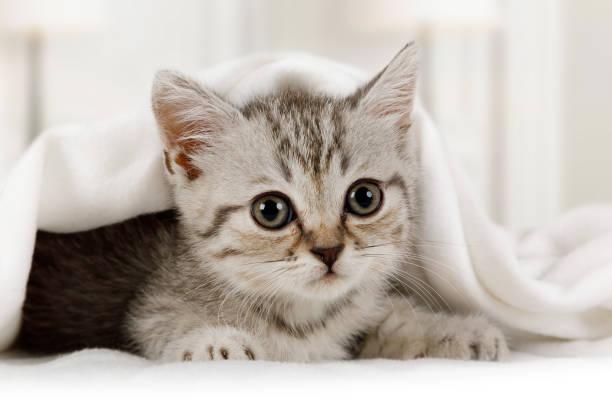 Nettes kleines Kätzchen schaut unter der Decke drinnen – Foto