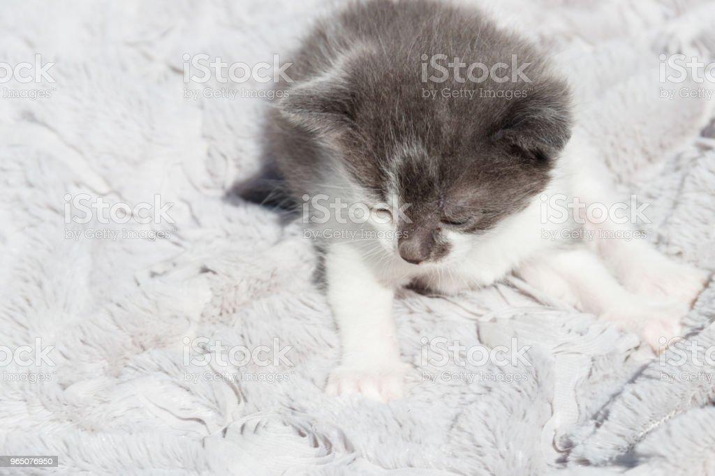 Cute little kitten on the soft grey blanket zbiór zdjęć royalty-free