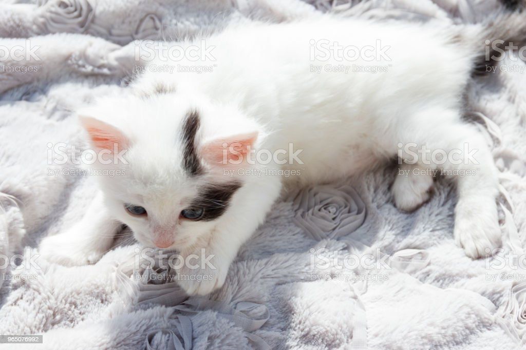 Cute little kitten on the soft grey blanket zbiór zdjęć royalty-free