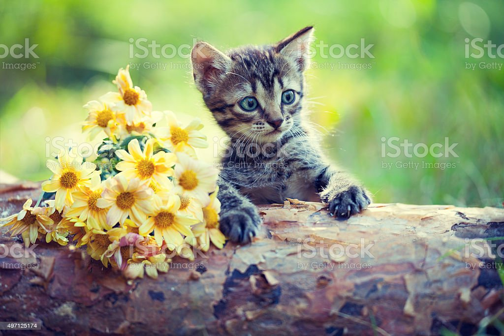 Cute little kitten outdoor looking at flowers on wooden snag stock photo
