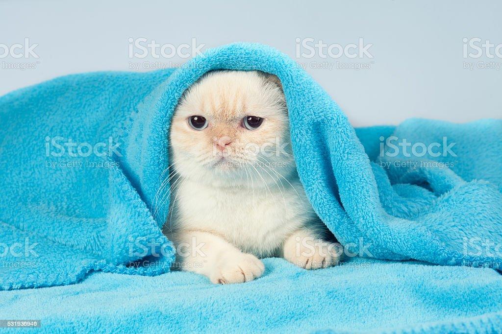 Niedlich kleines Kätzchen Spähen aus unter blaue Decke – Foto