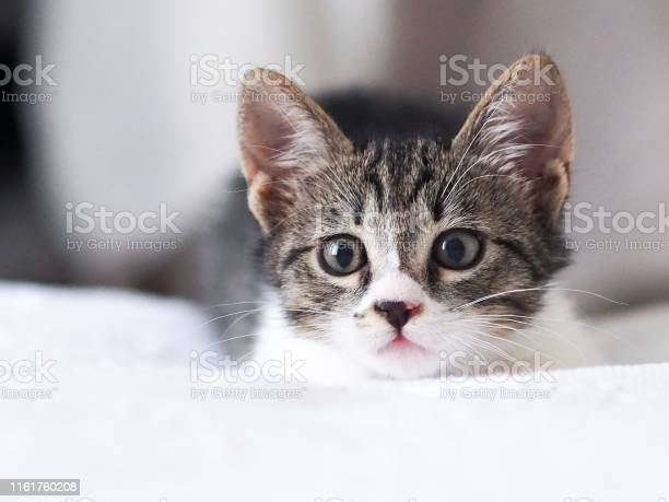 Cute little kitten picture id1161760208?b=1&k=6&m=1161760208&s=612x612&h=kkoo8jh zlxzhzmpnu bit9yhm0rjc9u p1 tub vwo=