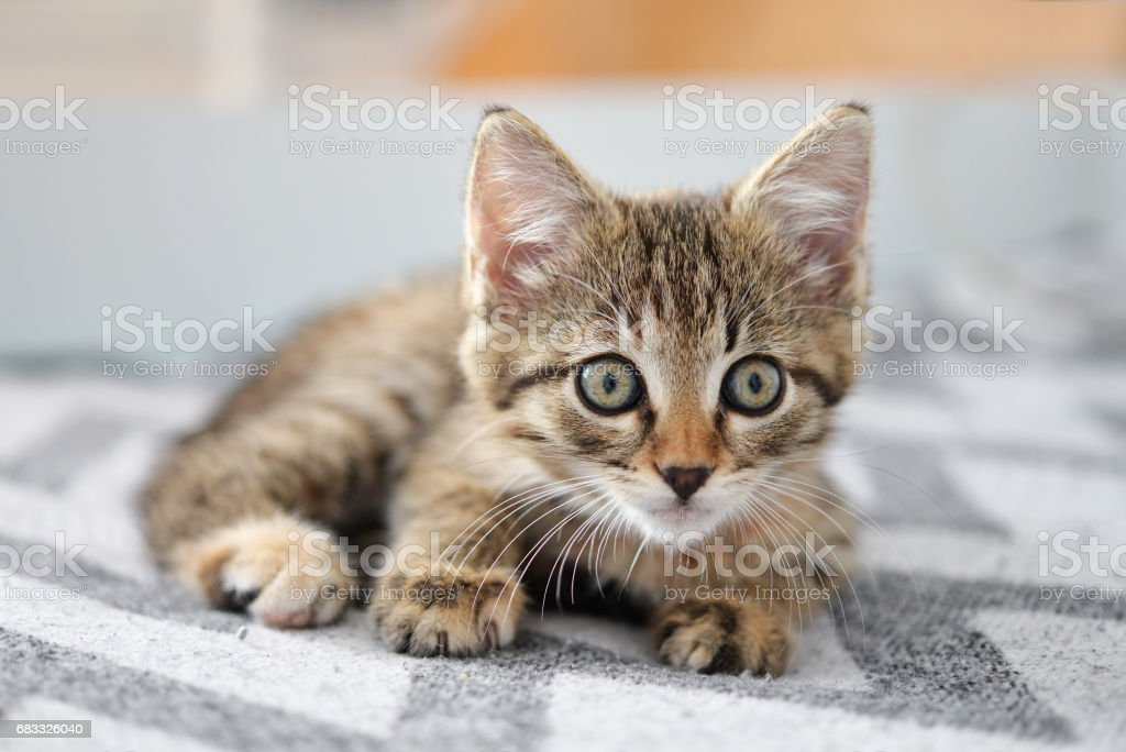 Cute little kitten foto stock royalty-free