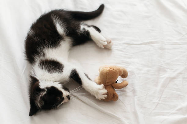 Top 60 Cat Paw Teddy Bear Stock Photos Pictures And Images Istock
