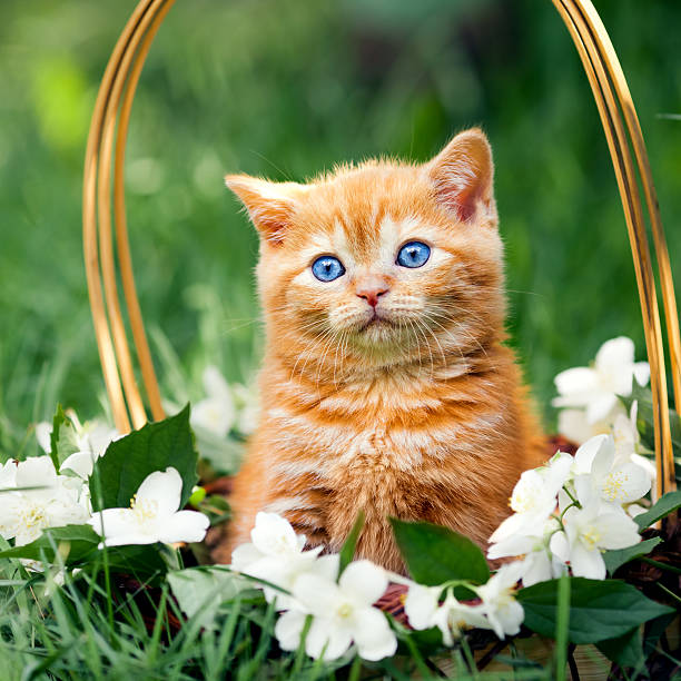 Cute little kitten sitting in a basket with flowers picture id527092695?b=1&k=6&m=527092695&s=612x612&w=0&h=2ru8rtl1nbjjx o00 6eozga7nqvfmneniqcamjm9j0=