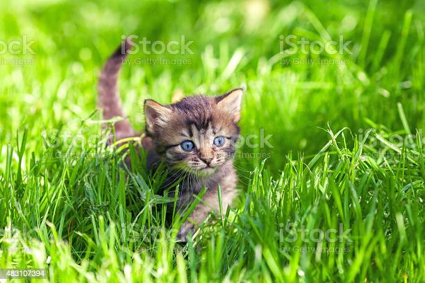 Cute little kitten walking on the grass picture id483107394?b=1&k=6&m=483107394&s=612x612&h=guavsknliywlefeze7mvh8ihbr23t36atnqby1t0vo0=