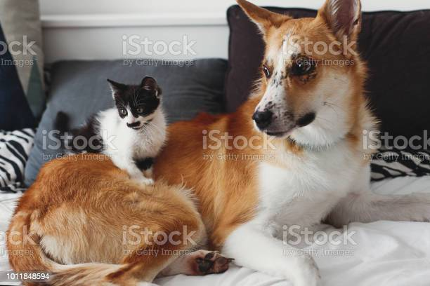 Cute little kitty sitting on big golden dog on bed with pillows in picture id1011848594?b=1&k=6&m=1011848594&s=612x612&h=msednrss4bjp3cfri3md3rg90u2lci2s8cignhmbviy=