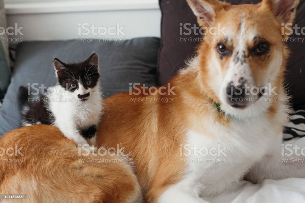 cute little kitty sitting on big golden dog on bed with pillows in...