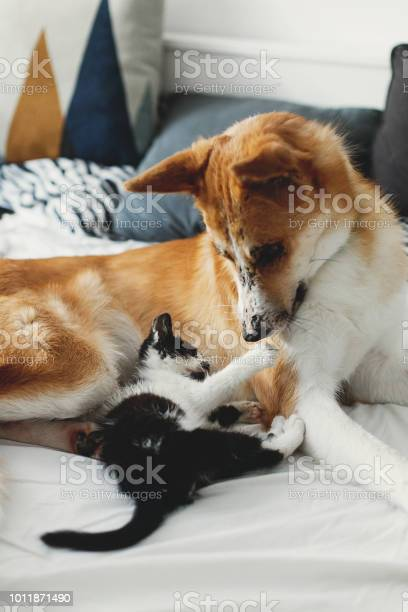 Cute little kitty sitting on big golden dog on bed with pillows in picture id1011871490?b=1&k=6&m=1011871490&s=612x612&h=bit clu1kn6b0zxlx1riwdgypi4yniwshzbwnrhnbay=