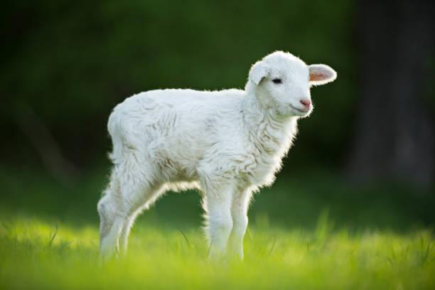 cute little lamb on fresh green meadow - comportamento animal imagens e fotografias de stock