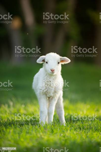 Cute little lamb on fresh green meadow picture id980303008?b=1&k=6&m=980303008&s=612x612&h=mrcke8dtxd hpiht ya3kko6l6of0gz ul1yec6qf9y=