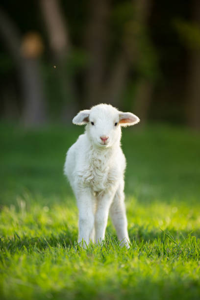 cute little lamb on fresh green meadow cute little lamb on fresh spring green meadow during sunrise flock of sheep stock pictures, royalty-free photos & images