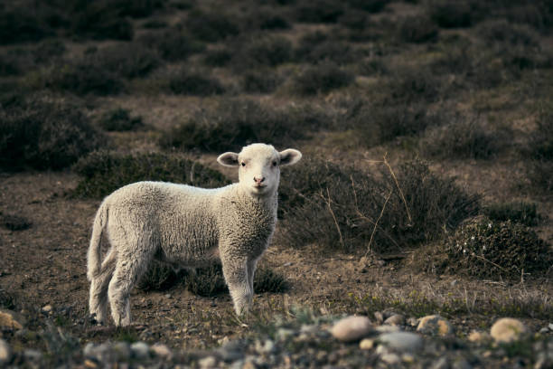 Cute little lamb on the Patagonian plateau during spring sunrise. stock photo