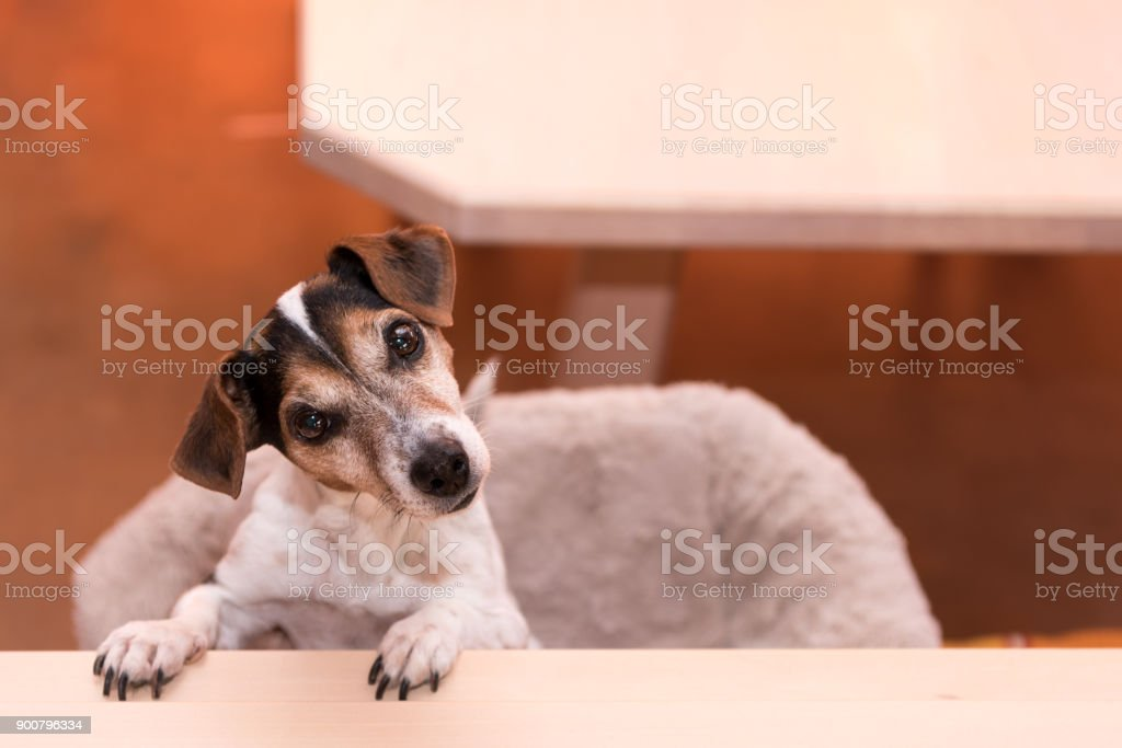 Cute Little Naughty Fricolor Jack Russell Terrier Dog Is Standing On His Hind Legs Hair