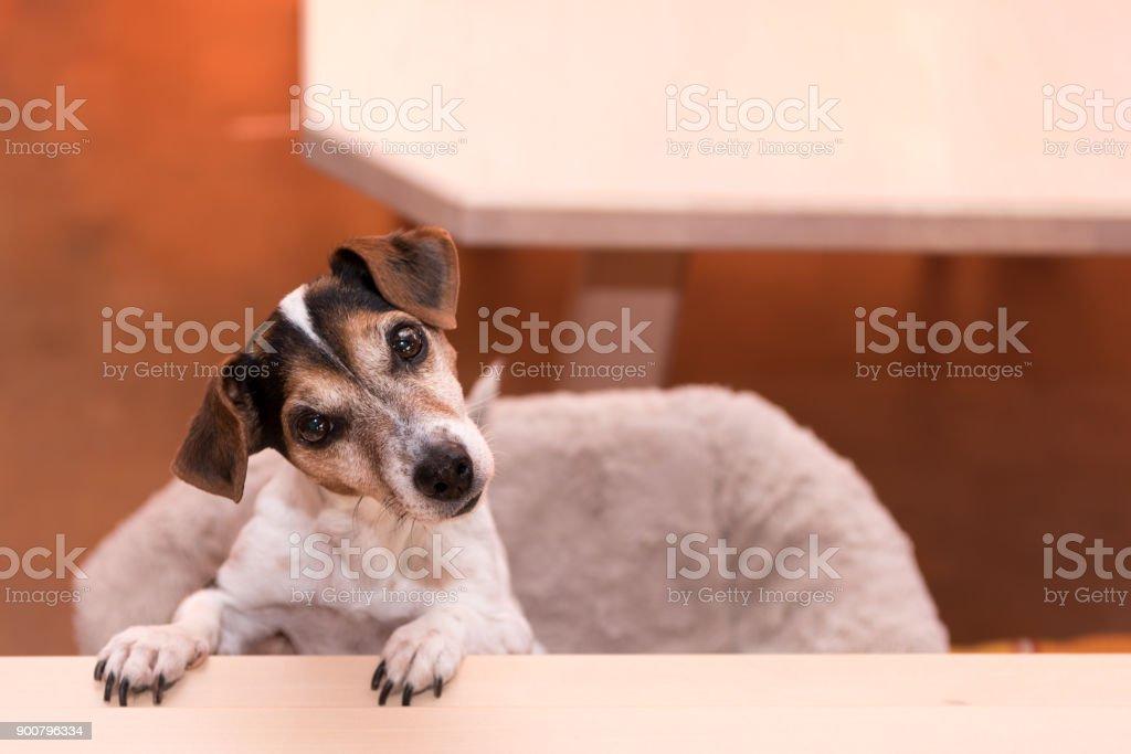 niedliche kleine freche Fricolor Jack Russell Terrier Hund steht auf den Hinterbeinen - Frisur glatt – Foto