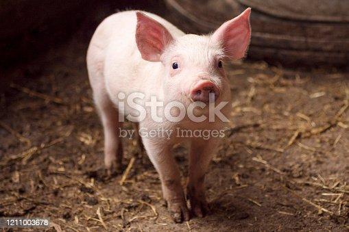 istock cute little pig in pigpen 1211003678