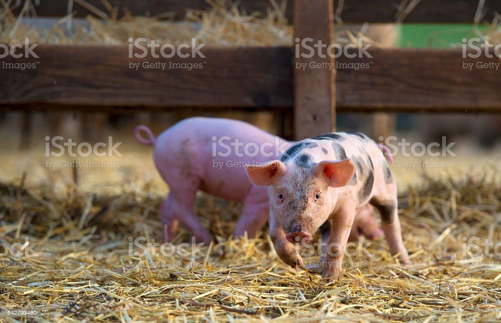 cute little piglets at farm stock photo