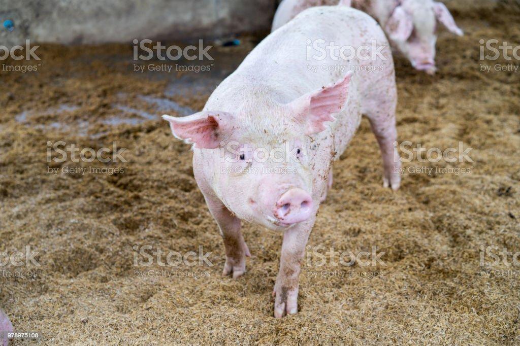 Cute little piglets on the farm, happy pigs on pig farm, mini pigs...