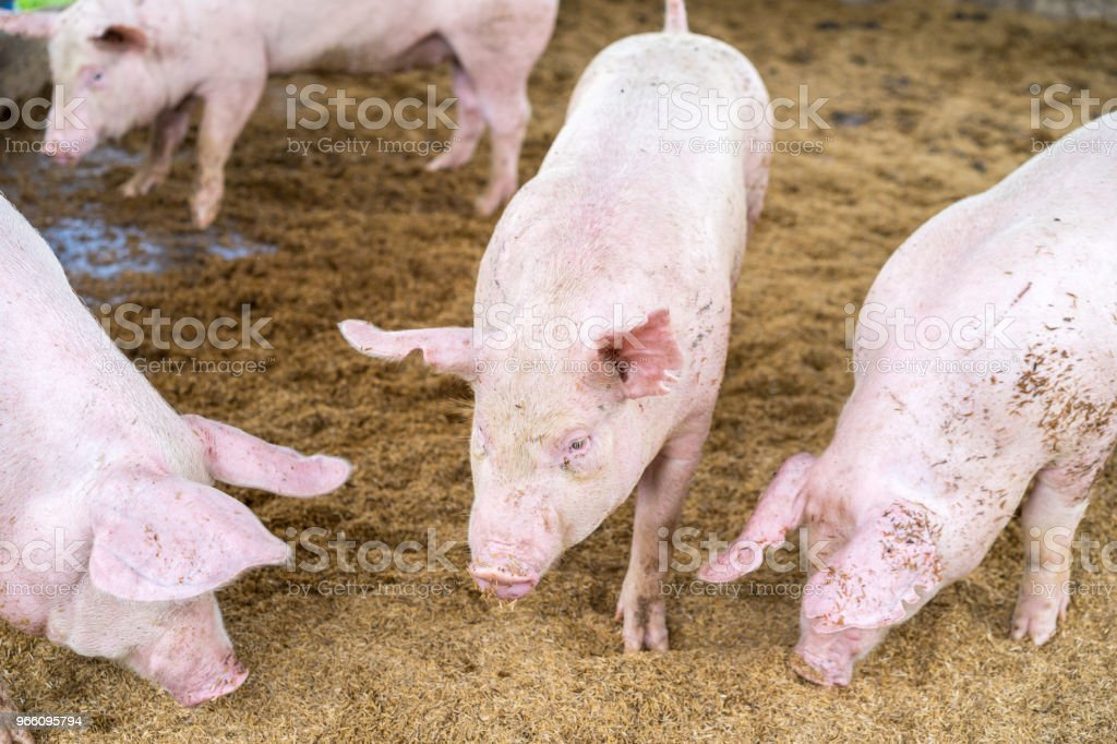Cute little piglets on the farm, snuffling the ground, selective focus. - Royalty-free Agriculture Stock Photo