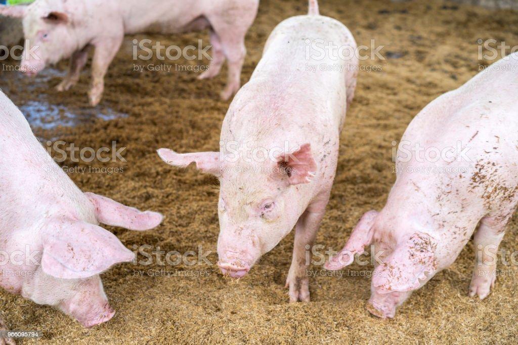 Söt liten smågrisar på gården, snuffling i marken, selektiv fokus. - Royaltyfri Bildbakgrund Bildbanksbilder