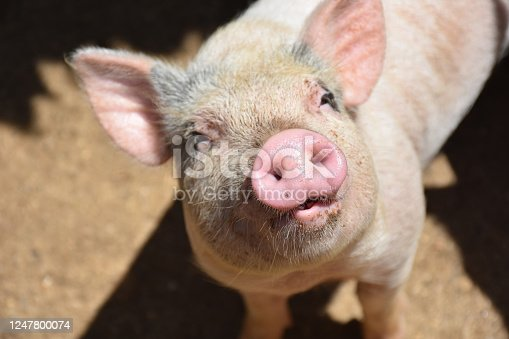 Adorable pink pig looking up with his mouth partially open.